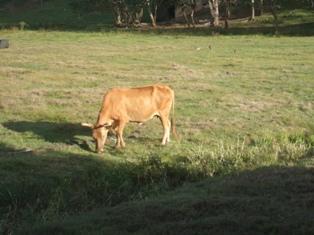 Une vache sur un mur